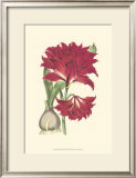 Amaryllis Blooms II Posters by Van Houtteano 