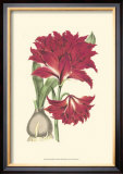 Amaryllis Blooms II Poster by Van Houtteano 