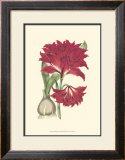 Amaryllis Blooms II Print by Van Houtteano 