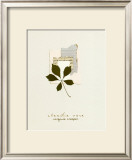 Virginia Creeper Print by Claudia Vera