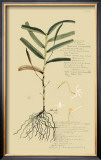 Tropical Grasses II Posters by A. Descubes