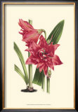 Amaryllis Blooms III Prints by Van Houtteano 
