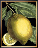 Fragrant Citrus II Posters by  Volkamer