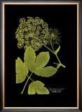 Weinmann Botanical on Black IV Print by Johann Wilhelm Weinmann