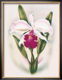 Cattleya Orchid Framed Giclee Print by Ted Mundorff