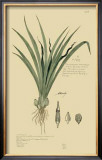 Tropical Grasses III Prints by A. Descubes