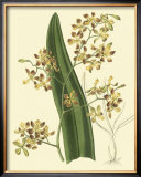Antique Orchid Study II Prints by Syndenham Edwards