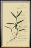 Tropical Grasses IV Posters by A. Descubes