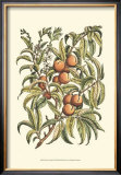 Peach Tree Branch Poster by Henri Du Monceau