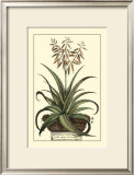 Antique Munting Aloe III Posters by Abraham Munting