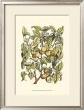 Apricot Tree Branch Prints by Henri Du Monceau
