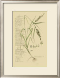 Ornamental Grasses I Posters by A. Descubes