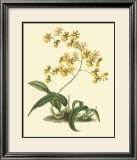 Antique Orchid Study I Prints by Syndenham Edwards