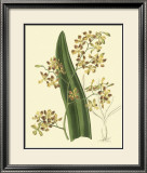 Antique Orchid Study II Posters by Syndenham Edwards
