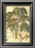 Antique Sycamore Tree Prints by  John Miller (Johann Sebastien Mueller)