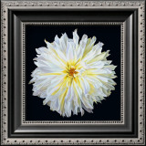 White Dahlia Art by Linda Mcvay