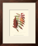 Smooth Sumac Posters by  Sprague
