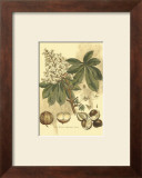 Antique Horse Chestnut Tree Prints by John Miller (Johann Sebastien Mueller)