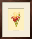Iris Bloom VIII Prints by M. Prajapati