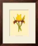 Iris Bloom IV Print by M. Prajapati