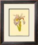 Iris Bloom I Posters by M. Prajapati
