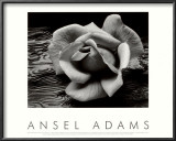 Rose and Driftwood, San Francisco, California Poster por Ansel Adams