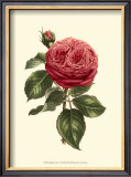 Magnificent Rose V Poster by Ludwig Van Houtte