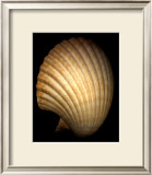 African Fan Scallop Posters by Harold Feinstein