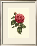Magnificent Rose V Art by Ludwig Van Houtte