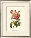 Magnificent Rose VI Posters by Ludwig Van Houtte