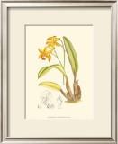 Orchid Plenty IV Prints by Samuel Curtis