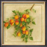 Abricots du Roussillon Prints by Vincent Perriol