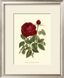 Magnificent Rose IV Posters by Ludwig Van Houtte