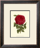 Magnificent Rose II Prints by Ludwig Van Houtte