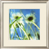 Daisies II Prints by Ingrid Blixt
