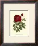 Magnificent Rose IV Prints by Ludwig Van Houtte