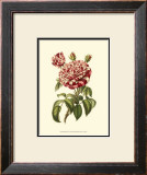 Magnificent Rose VI Prints by Ludwig Van Houtte