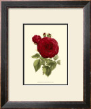 Magnificent Rose I Poster by Ludwig Van Houtte