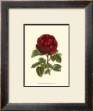 Magnificent Rose III Print by Ludwig Van Houtte