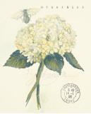 Claire's Garden Lace Hydrangea Prints by Elissa Della-piana