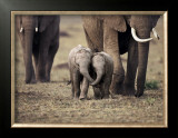 Baby Elephant, Masa Mara, Kenya Print by Anup Shah