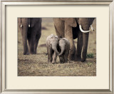 Baby Elephant, Masa Mara, Kenya Posters by Anup Shah