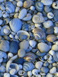 Shells of Freshwater Snails and Clams on Shore of Bear Lake, Utah, USA Photographic Print by Scott T. Smith