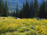 Wildflowers and Trees, Wasatch-Cache National Forest, Utah, USA Photographic Print by Scott T. Smith