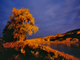 Large Cottonwood Catches Morning Light on the Missouri River, Montana, USA Photographic Print by Chuck Haney