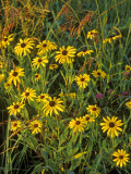 Black Eyed Susans Wildflowers, Neil Smith Nwr, Iowa, USA Photographic Print by Chuck Haney