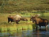 Moose Standing by Wonder Lake, Denali National Park, Alaska, USA Fotografisk trykk av Hugh Rose