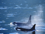 Killer Whales Feeding in Johnstone Strait, British Columbia, Canada Photographic Print by Inger Hogstrom