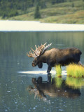 Bull Moose Wading in Tundra Pond, Denali National Park, Alaska, USA Photographic Print by Hugh Rose