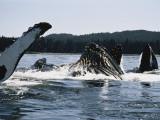 Humpback Whales, Frederick Sound, Alaska, USA Photographic Print by Stuart Westmoreland